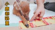 生財有鹿,讓梅花鹿來刮彩票,獎金給梅花鹿留著上學用