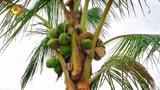 向往的生活第四季宣傳片,椰子篇